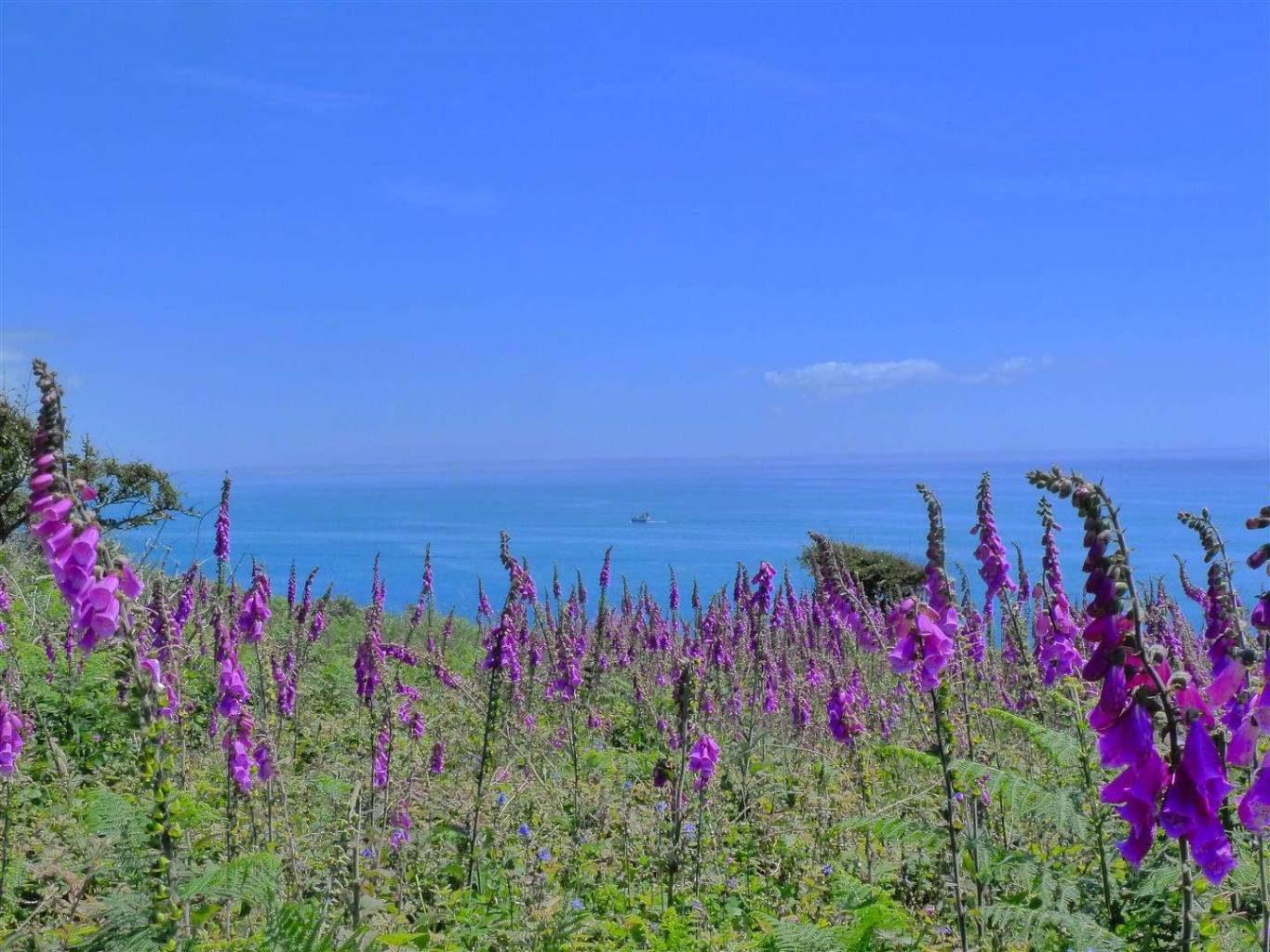 Foxgloves above Lamorna